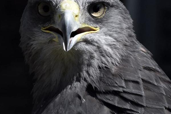 Aquila del Cile
